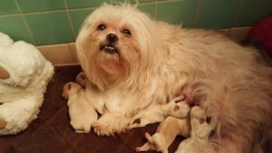 White and creamy white or buff ShihTzu puppies